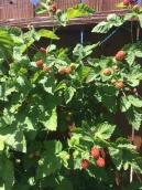 berries, berries, berries