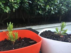 Two of my lavender seedings.